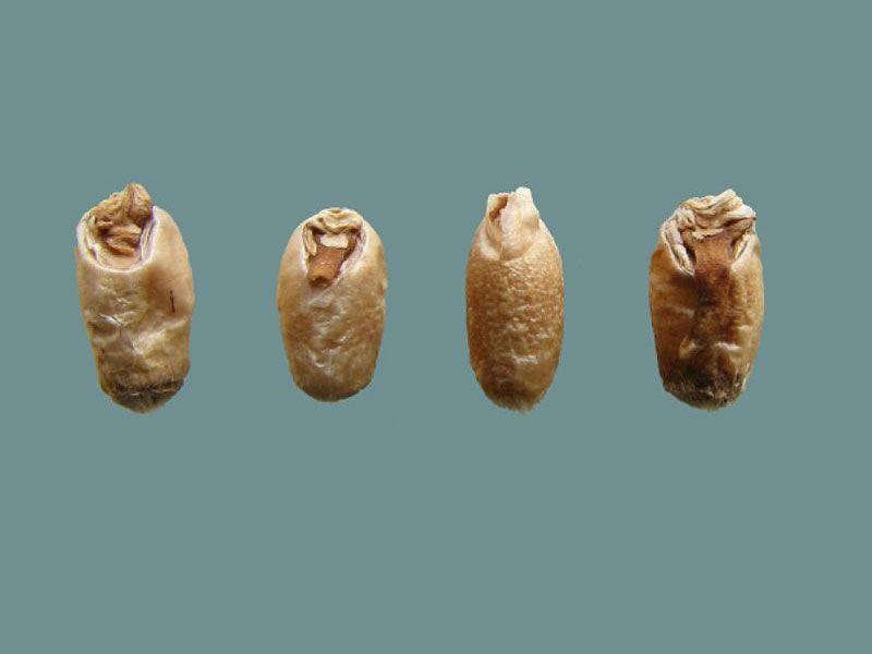 Agbiz Grain Wheat Deviations
